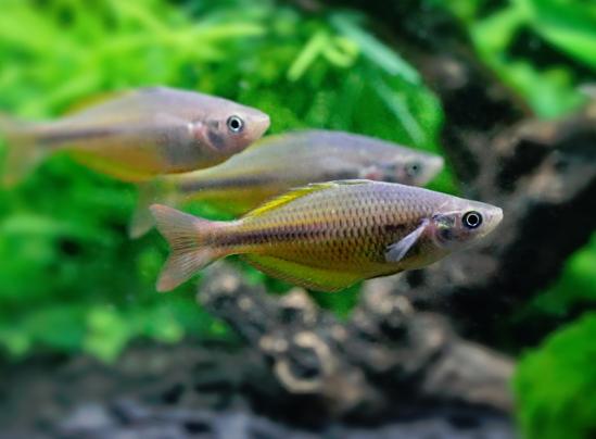 Home for Yellow rainbow fish